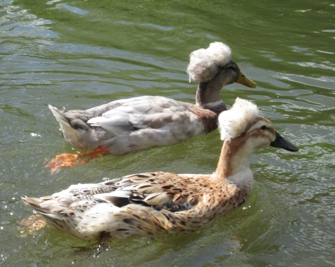 Canards à pompom